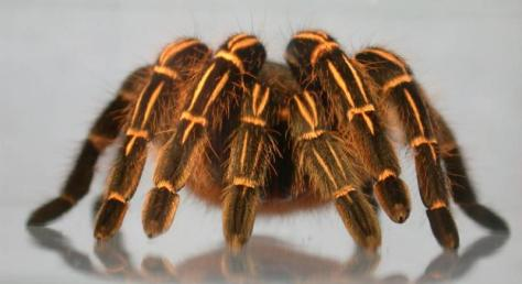 Photo Courtesy of http://www.tarantulaguide.com/